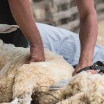 Campaña de esquileo ovejas