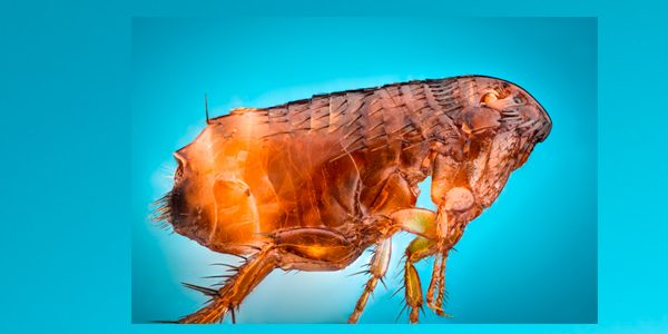 insectos ganadería
