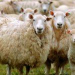 producción de carne de oveja