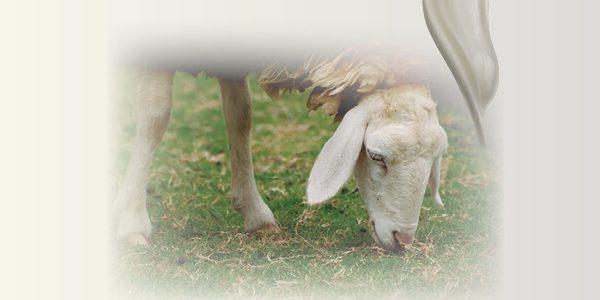 leche oveja