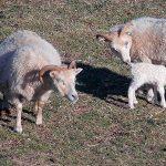 Nutrición, partos gemelares y distocia en ganado ovino