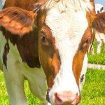 ¿Qué ración comen sus vacas?