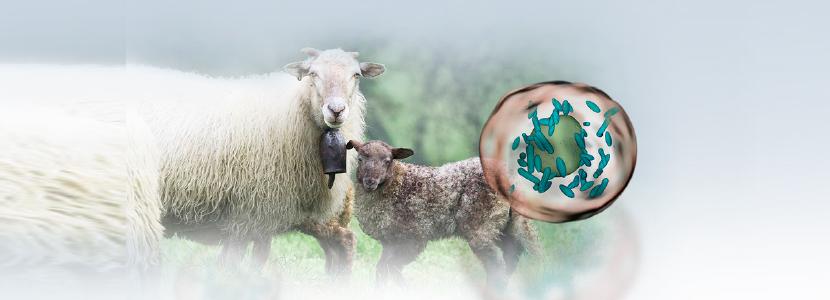 Monitorización de la infección por Coxiella burnetti en rebaños ovinos lecheros