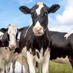 Caso clínico: tratamiento quirúrgico de un bovino con indigestión vagal