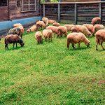 Proyecto Eurosheep: nutrición y rentabilidad ovina