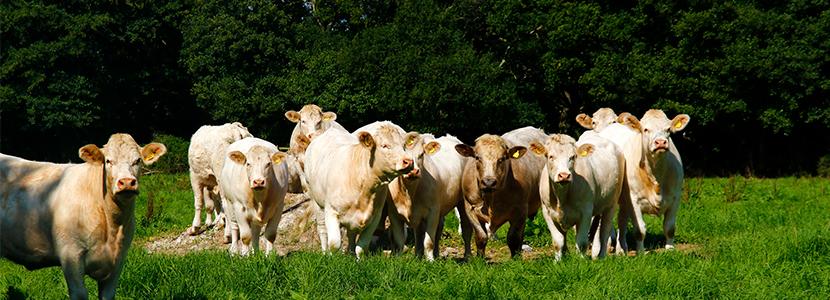 Nuevas razas en la IGP Carne de Cantabria